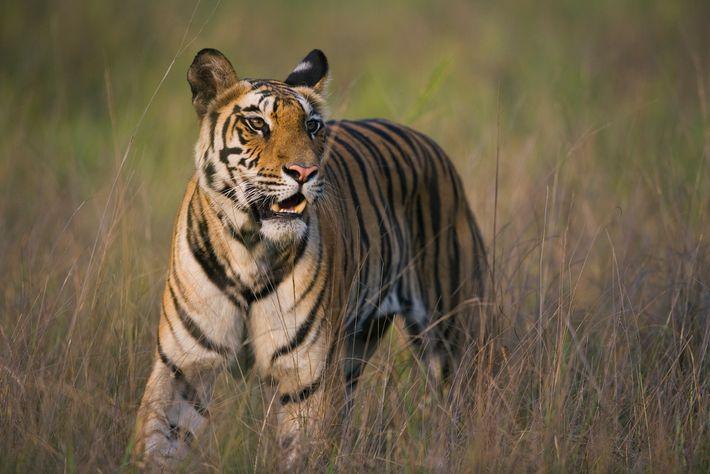 Os tigres podem passar duas semanas sem se alimentar e podem se empanturrar quando caçam, consumindo ...