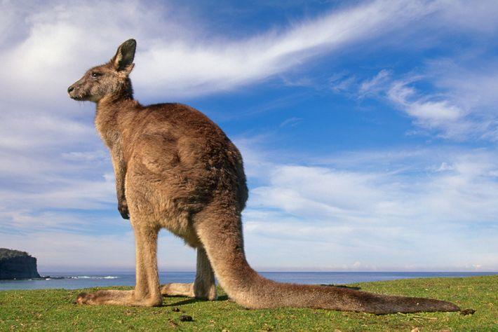 Não é surpresa que cangurus, como este canguru cinza no Parque Nacional de Murramarang, na Austrália, ...