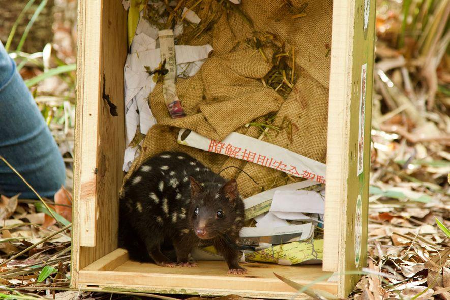 Três dos 20 quolls introduzidos na Austrália procriaram indicando um sinal de esperança para a espécie.