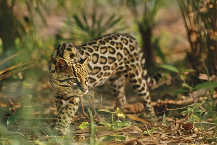 leoes-bolas-de-pelo-grandes-felinos-gatos-ocelot
