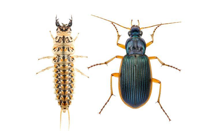 As larvas do besouro carabídeo (Epomis circumscriptus, estando o adulto (à direita) e a larva (à ...