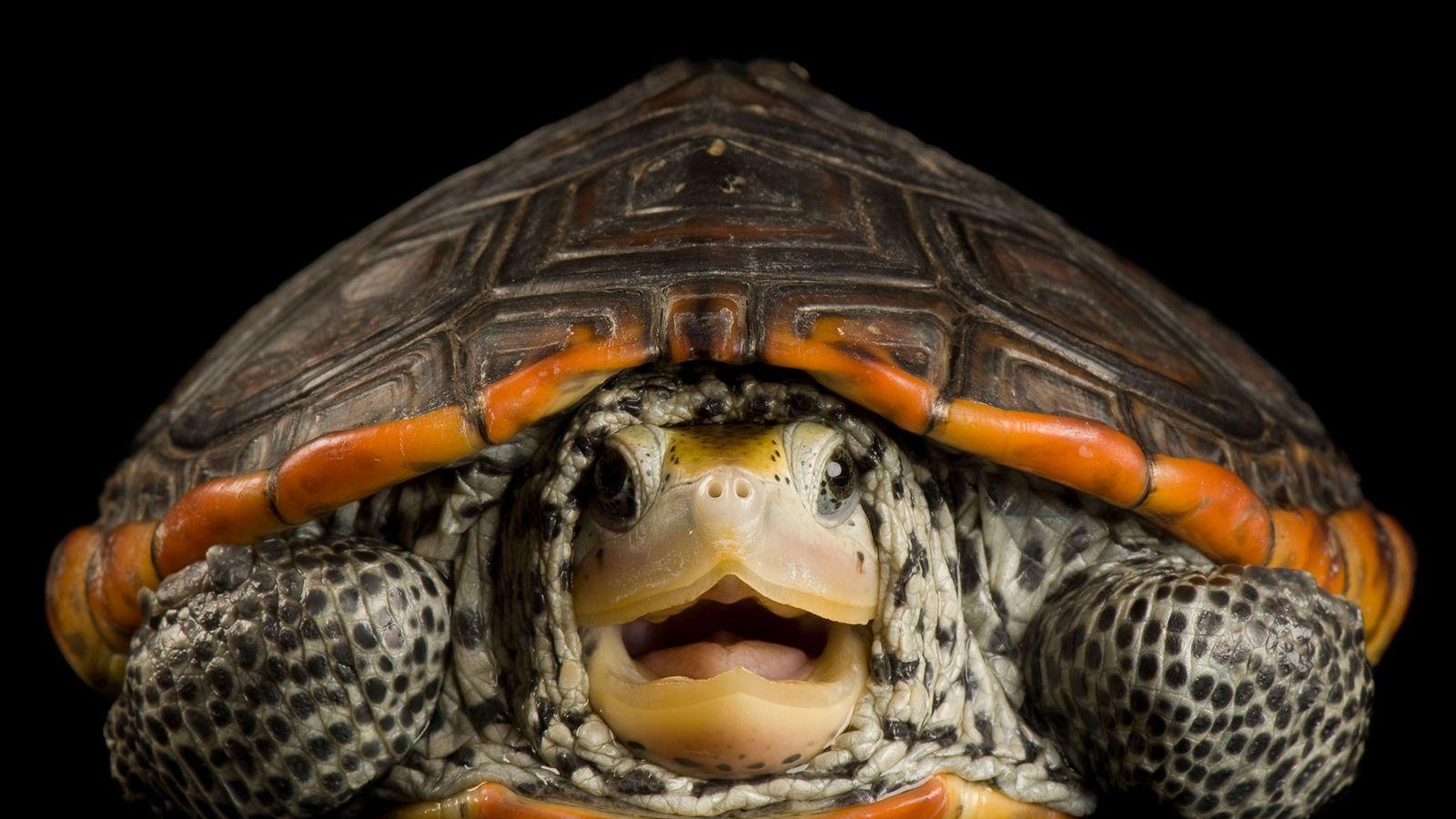 Esta Malaclemys terrapinque é exclusiva dos Estados Unidos. Ela foi fotografada no Estuarium, em Dauphin Island, ...
