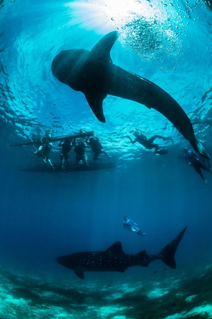 Tubarões-baleia são protegidos nacionalmente nas Filipinas desde 1998, mas a pesca ilegal persiste nesta área em ...