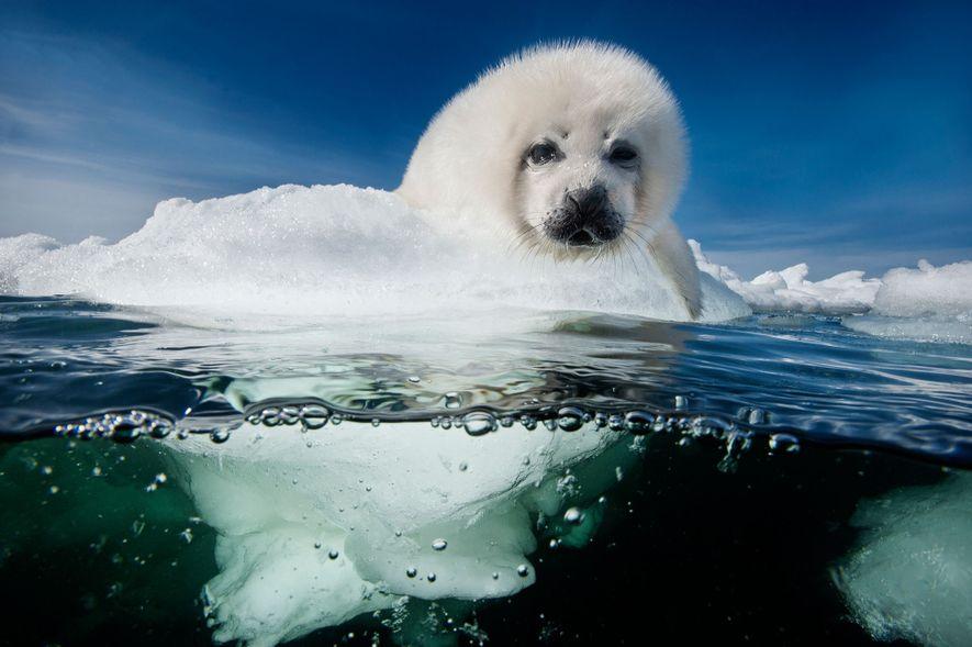 Um filhote de foca-da-groenlândia espera pacientemente pelo retorno da mãe no Golfo de São Lourenço, Canadá. Os filhotes nascem no gelo no final de fevereiro e são amamentados por 12 a 15 dias até que a mãe os abandona para se acasalar e migrar. O filhote, engordado com leite enriquecido, espera pela mãe até que a fome ou o gelo fraco o force a ir ao mar para aprender a nadar e comer. A mortalidade natural já é alta em condições normais, mas temos visto a perda de mais de 90% dos filhotes quando tempestades enfraquecem o gelo em temperaturas mais quentes do que o normal.