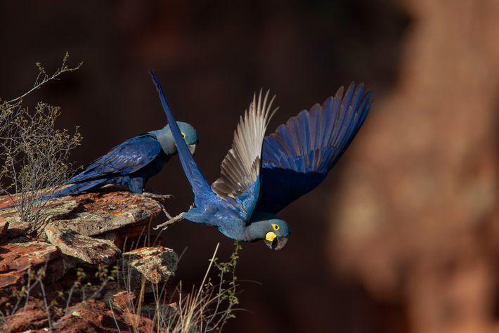03-arara-azul-de-lear-mulheres-da-conservacao