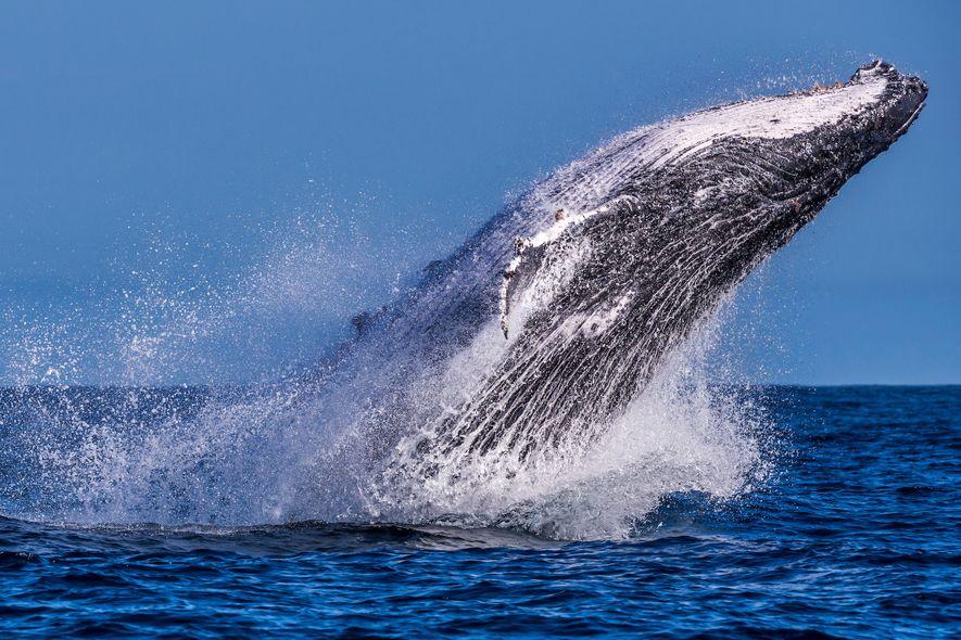 Todo ano, de julho a outubro, jubarte viajam desde a Antártida até a costa brasileira para ...