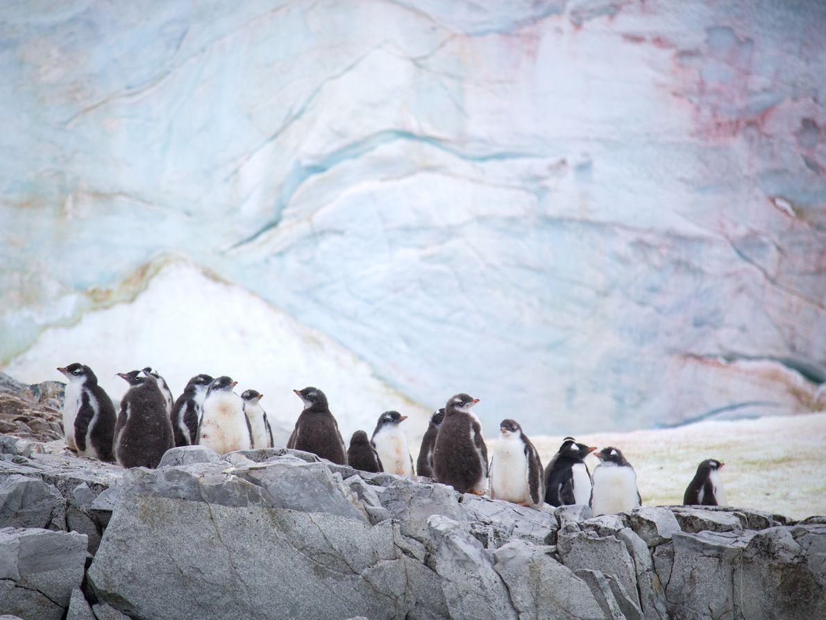 Filhotes de pinguins-gentoo na Ilha Petermann, Antártida, com algas da neve florescendo na face glacial atrás. ...
