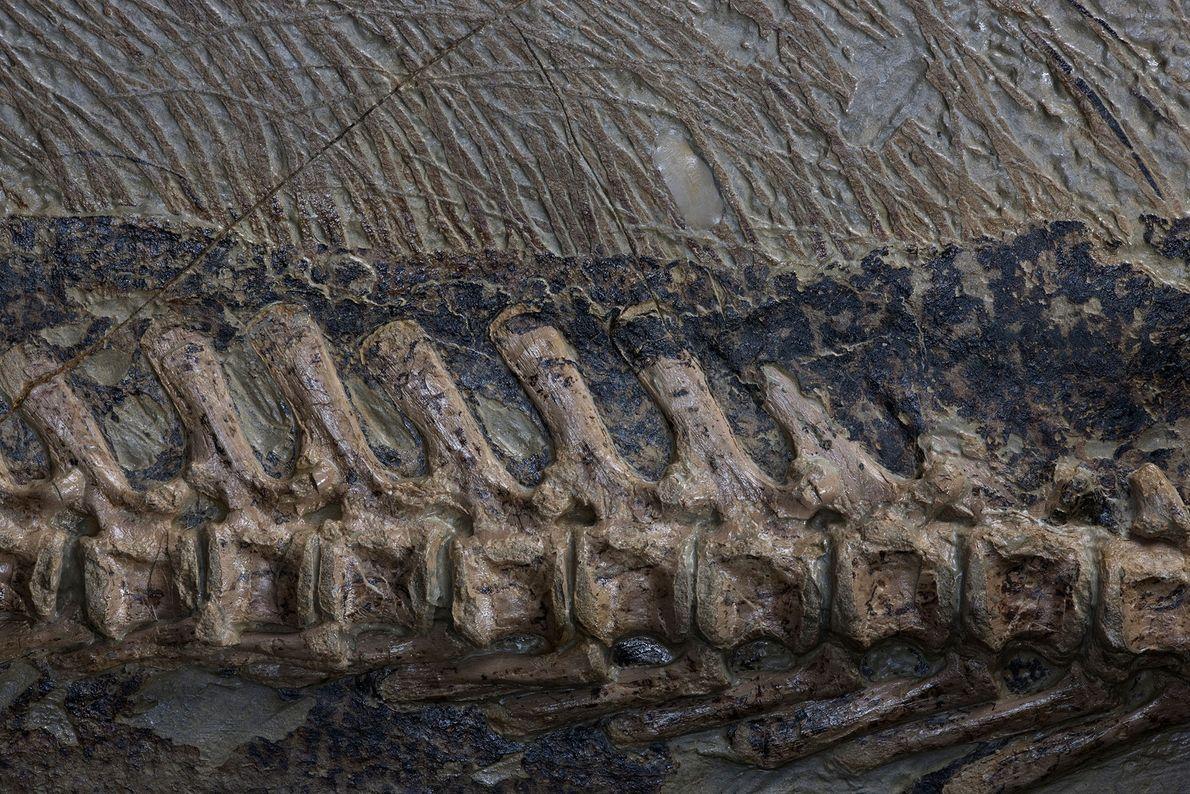 Um close-up mostra os pelos da espinha e da cauda em um fóssil incrivelmente bem preservado ...