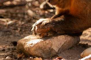 """Os macacos-prego batem as castanhas-de-caju contra """"bigornas"""" de pedra com até vinte centímetros aproximadamente ou contra ..."""