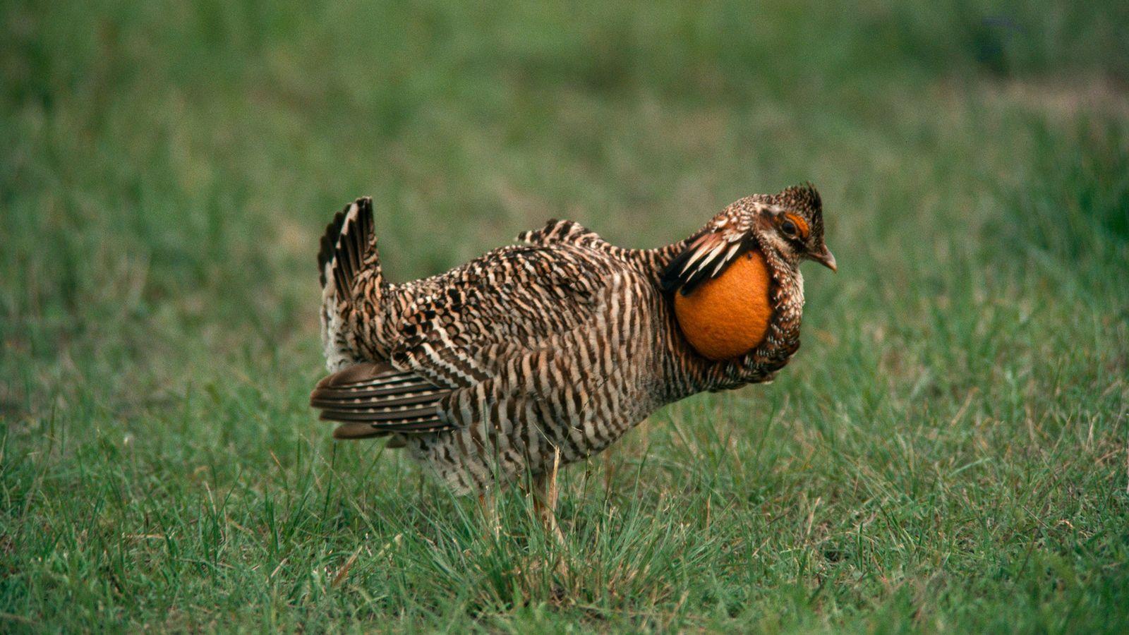 Um tetraz-das-pradarias de Attwater macho fica com sua bolsa de pescoço expandida em posição de cortejo. ...