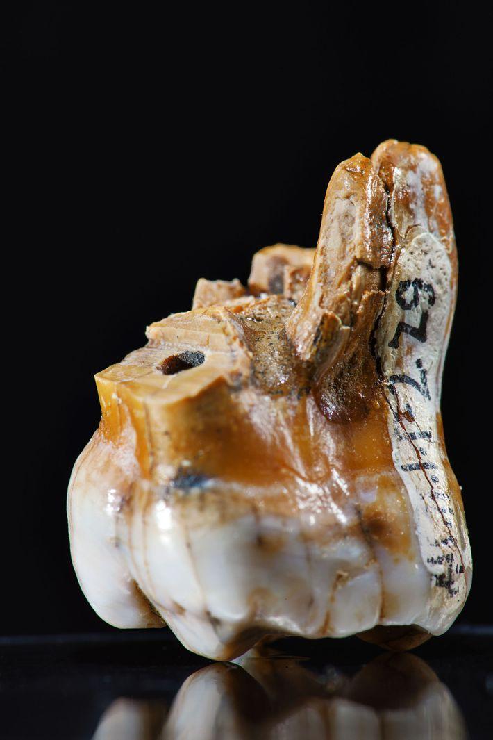 Os cientistas extraíram tudo o que sabemos sobre os denisovanos a partir de apenas três dentes ...