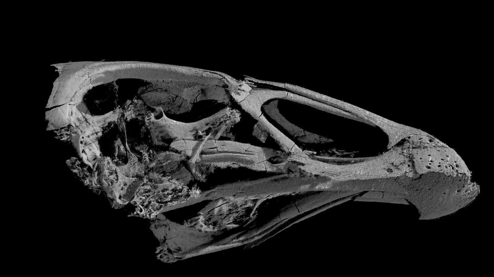 Imagem em 3D do crânio da ave moderna mais antiga conhecida, Asteriornis maastrichtensis.