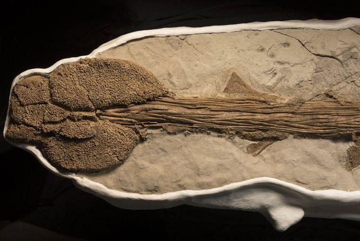 Anquilossaurídeos são mais conhecidos por suas caudas, que evoluíram para o formato de duras marretas recobertas ...
