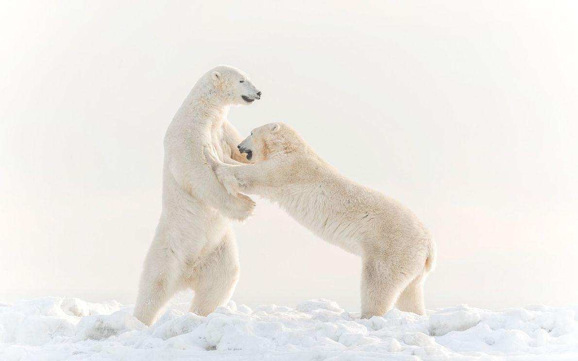 galeria-de-fotos-animais-em-acao-ursos-polares-brigam