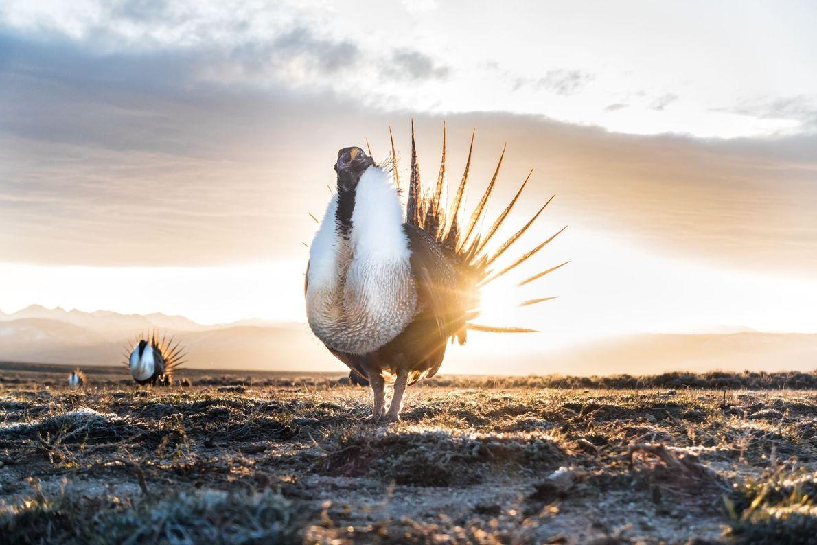 O sol nasce em Wyoming para o tetraz-cauda-de-faisão, que se pavoneia com o peito estufado e ...