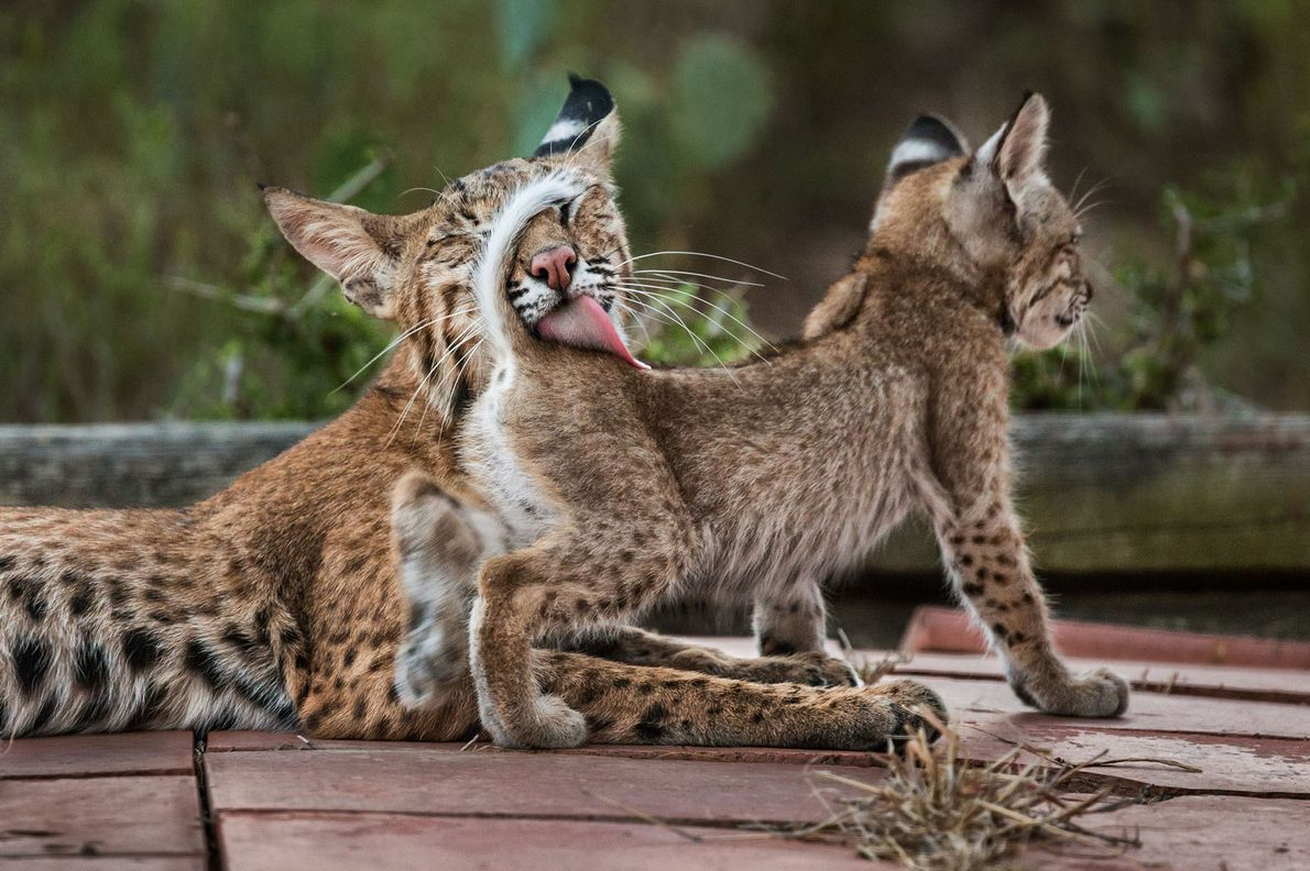 A família se espreguiçava, se limpava e brincava, até que a mãe-gato desaparecia na mata para ...