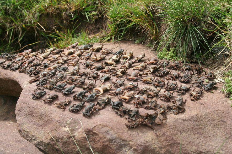 Sapos mortos pela praga são dispostos em fileiras para fins de estudo.