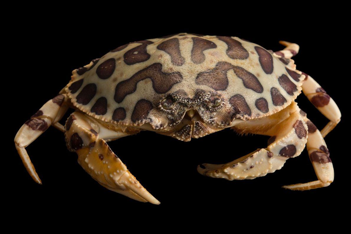 Caranguejo Hepatus epheliticus: Ele possui manchas que mimetizam as da onça-pintada. E servem para o mesmo ...