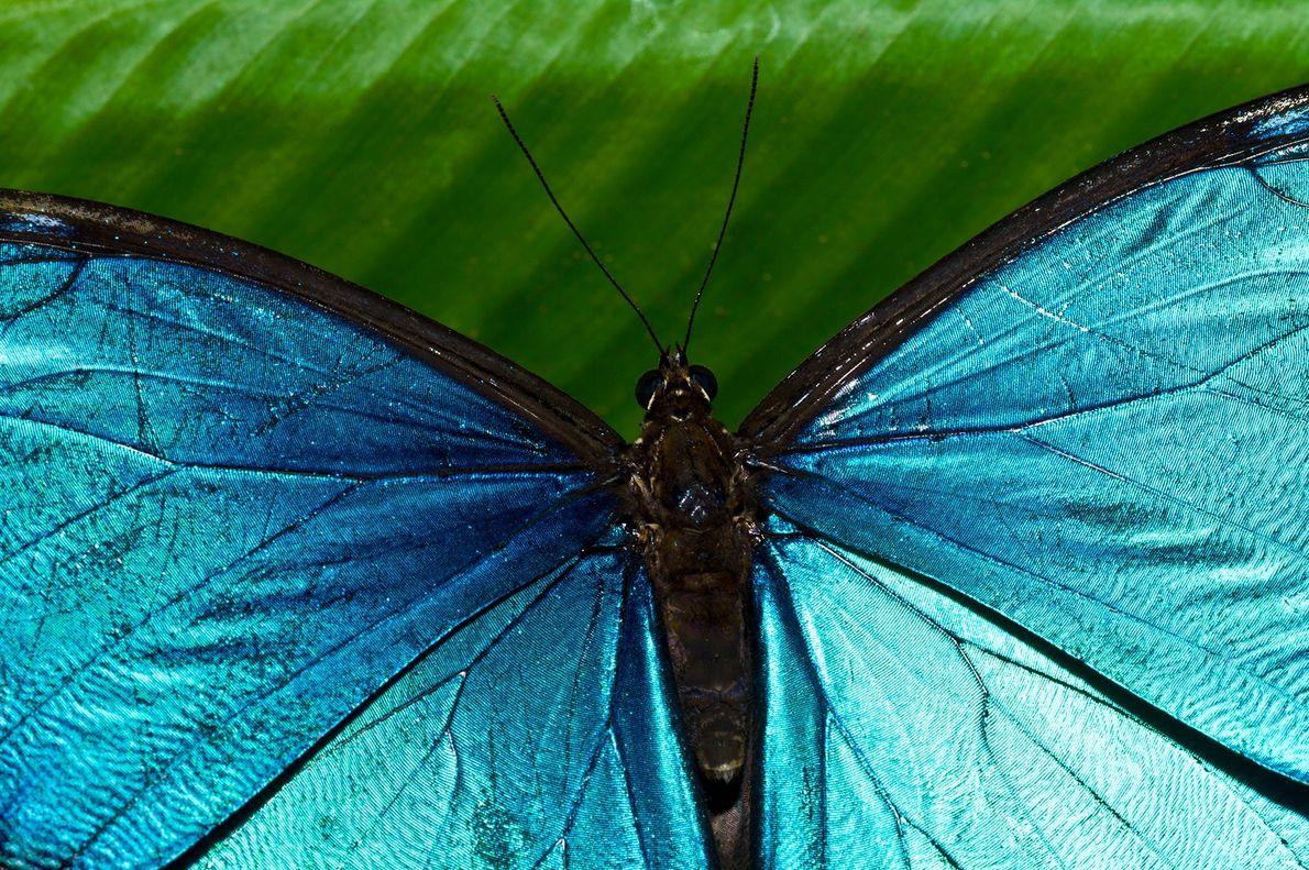 Por conta de suas asas azuis iridescentes serem cobiçadas por colecionadores, as borboletas Morpho menelaus foram ...