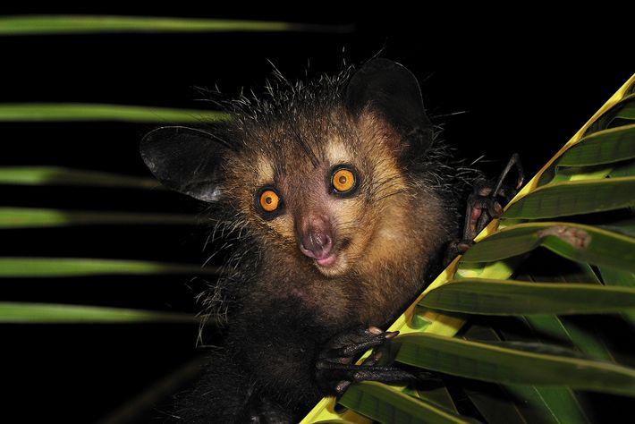 Os aie-aies, como este em Mananara, no leste de Madagascar, já tiveram um primo muito maior.