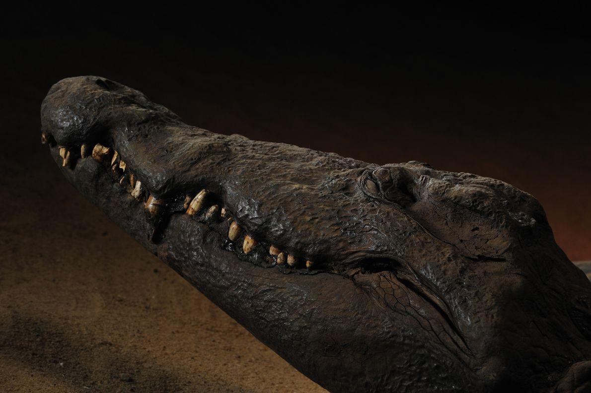 Uma múmia de crocodilo sorri de forma enigmática milhares de anos após sua morte. Os animais …