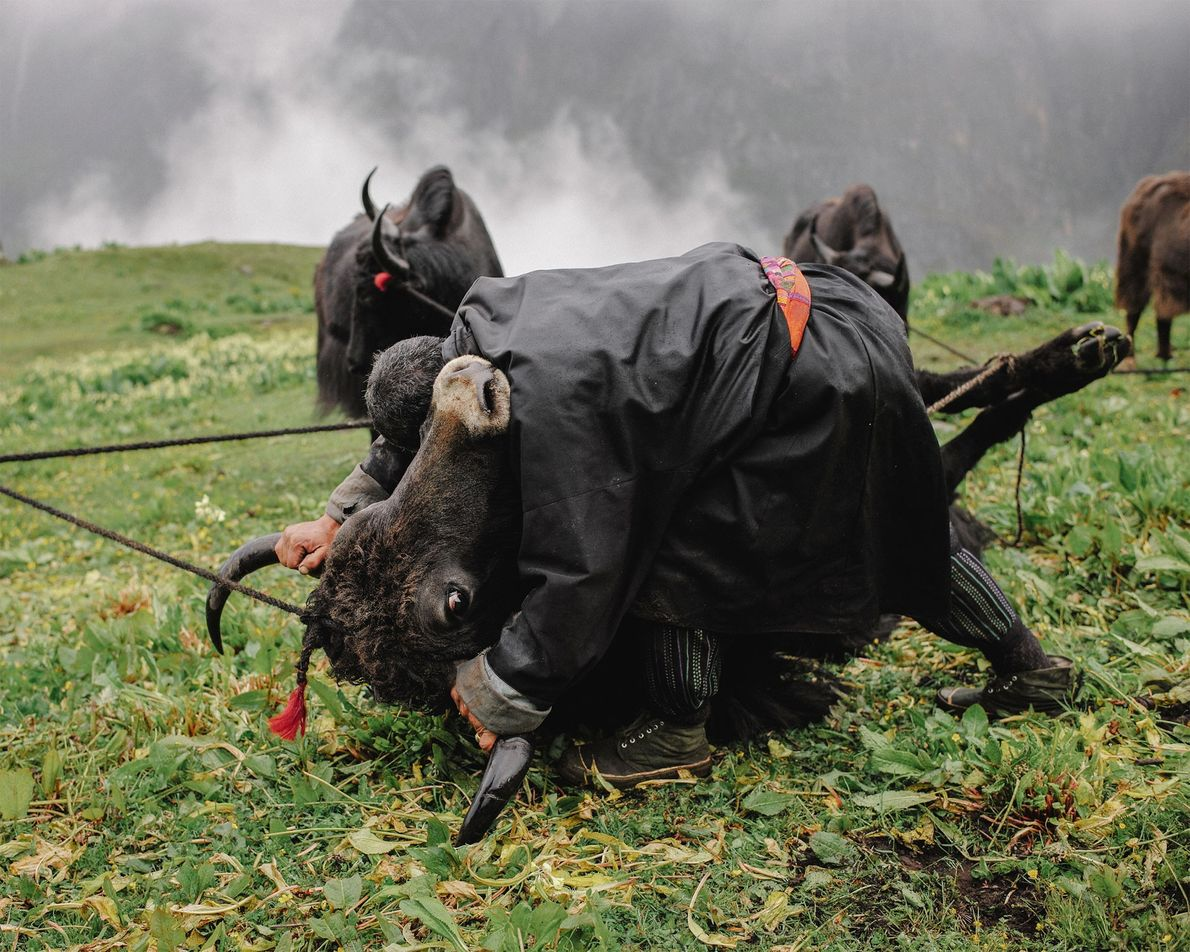 Tshering, pastor de iaques de 50 anos, realiza um ritual mensal em que ele derruba iaques …