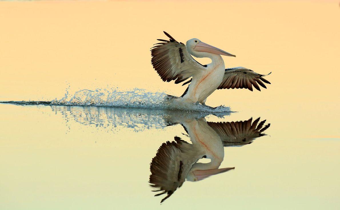 Esta imagem de um pelicano-australiano pousando em Nova Gales do Sul, na Austrália, ganhou ouro na ...