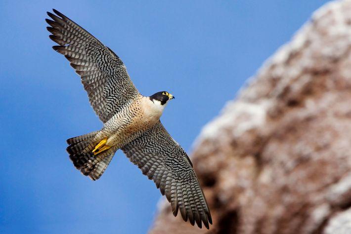 Falcão-peregrino caça pássaros pequenos em Baixa Califórnia, no México.