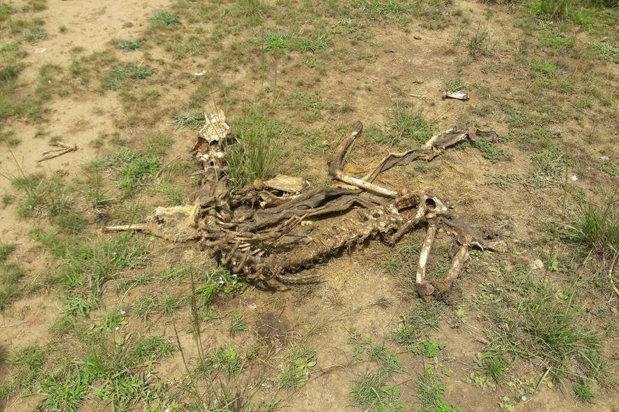 Carcaça de leão no Parque Nacional Queen Elizabeth