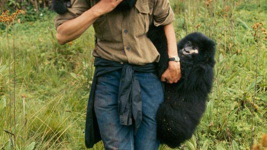 Fotos mostram Dian Fossey em sua vida de pesquisas com os gorilas-das-montanhas