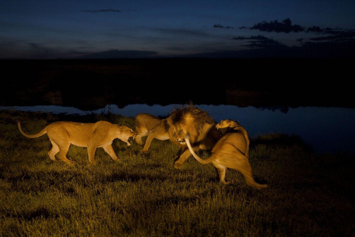 As fêmeas Vumbi, estressadas e ferozmente protetoras de seus filhotes, se irritam com C-Boy, um macho ...