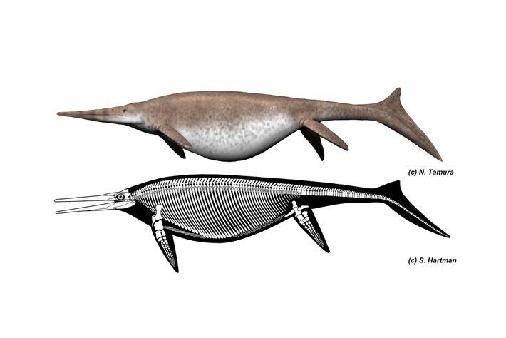 Reconstruções do ictiossauro gigante Xonissauro