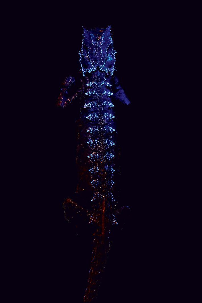 camaleao-brilha-no-escuro