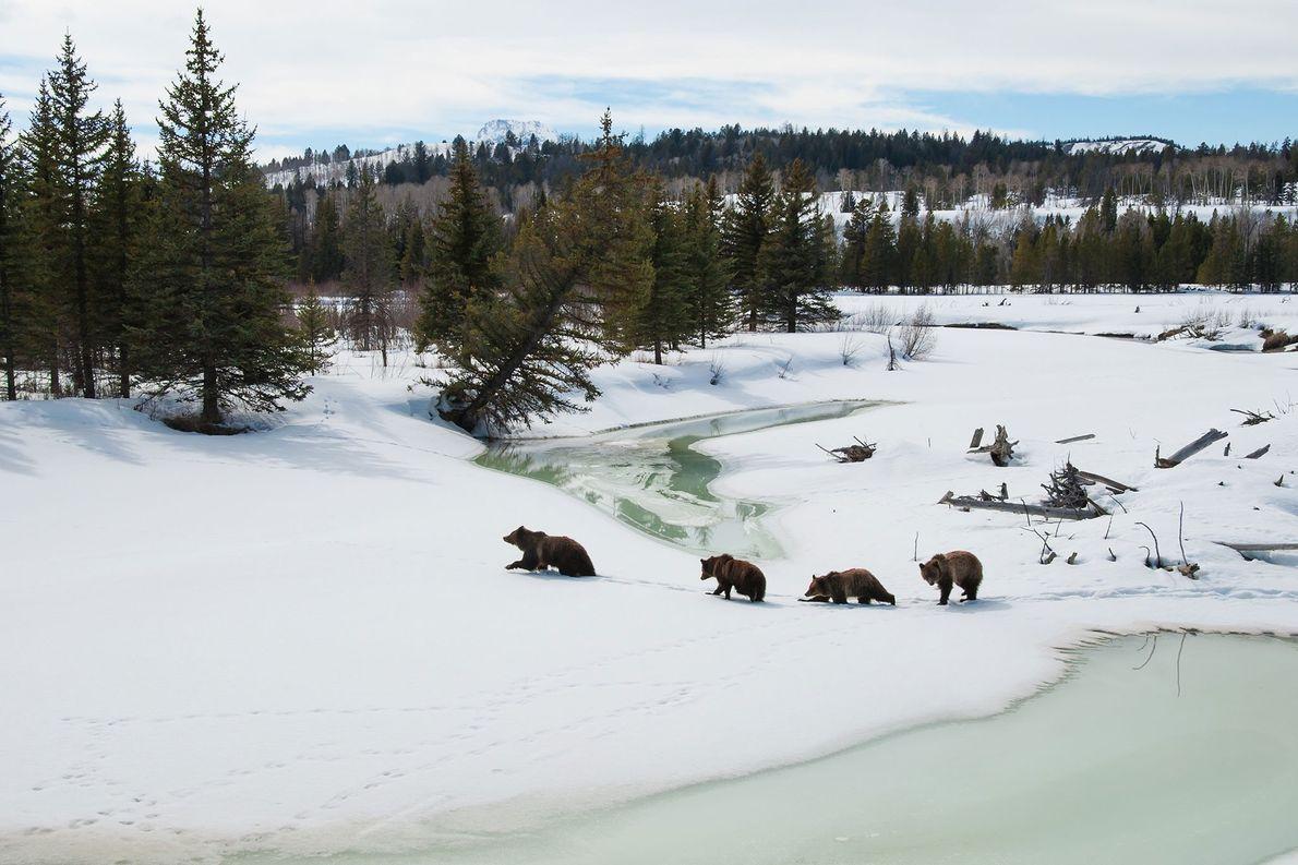 A ursa-parda 399 e seus três filhotes atravessam o rio Buffalo Fork, no Parque Nacional de ...