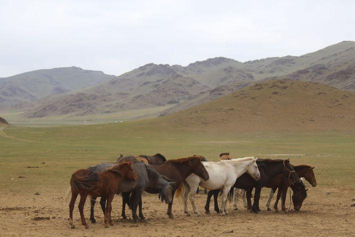 Cavalos se congregam na Mongólia central. Cientistas acreditam que o cavalo foi domesticado primeiro na Eurásia, ...