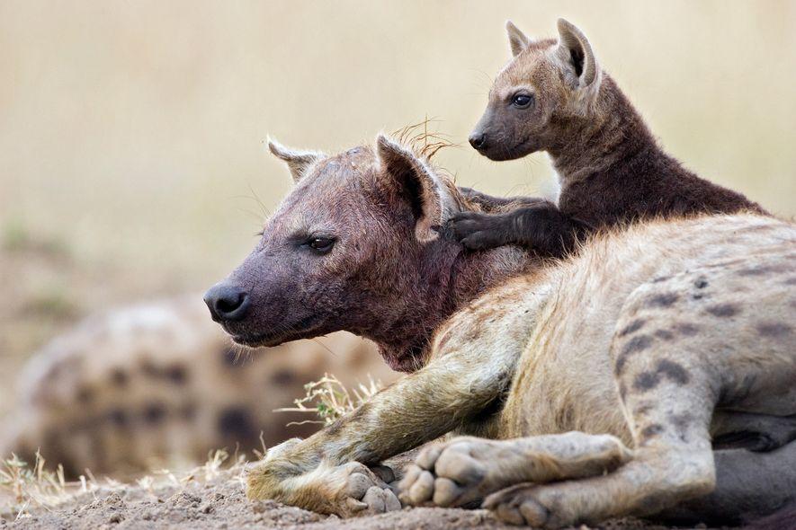 Um filhote de hiena-malhada com 11 semanas de vida senta sobre sua mãe na Reserva Nacional Masai Mara. Devido à capacidade das hienas de esmagar e digerir ossos, seu leite tem um teor muito alto de cálcio.