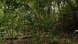 imagem de floresta da Guatemala com pirâmide embaixo