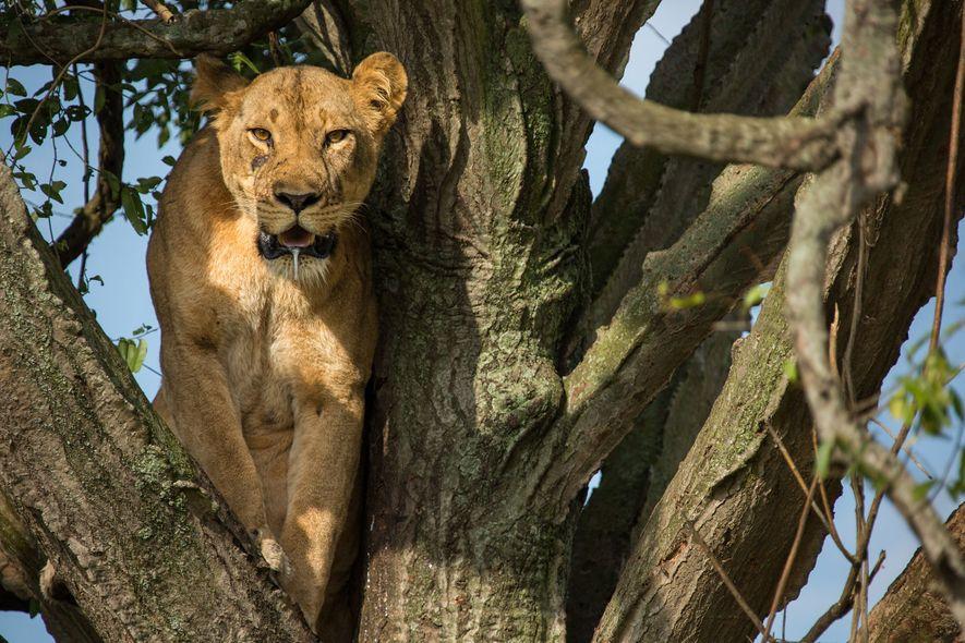 Uma das leoas mortas no Parque Queen Elizabeth