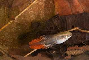 long-toed-salamanders