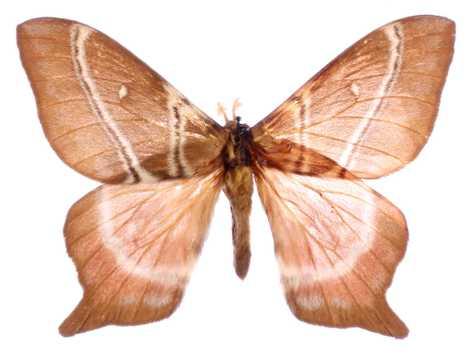 Alguns bichos da seda, como este Urota sinope, desenvolveram caudas curtas como uma defesa anti-morcegos.