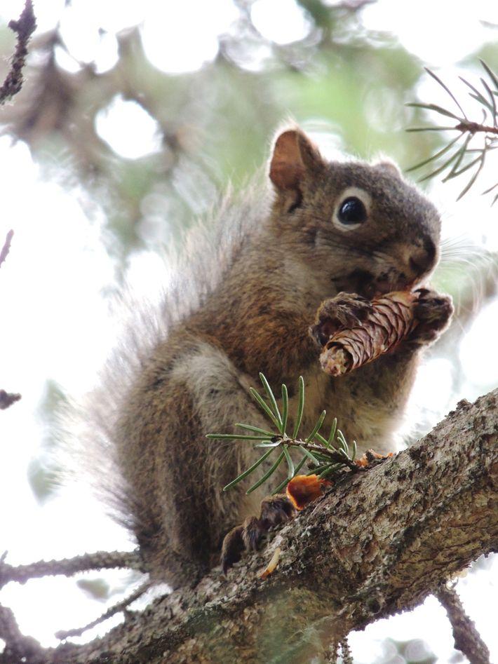 esquilo-vermelho-assassino-comportamento