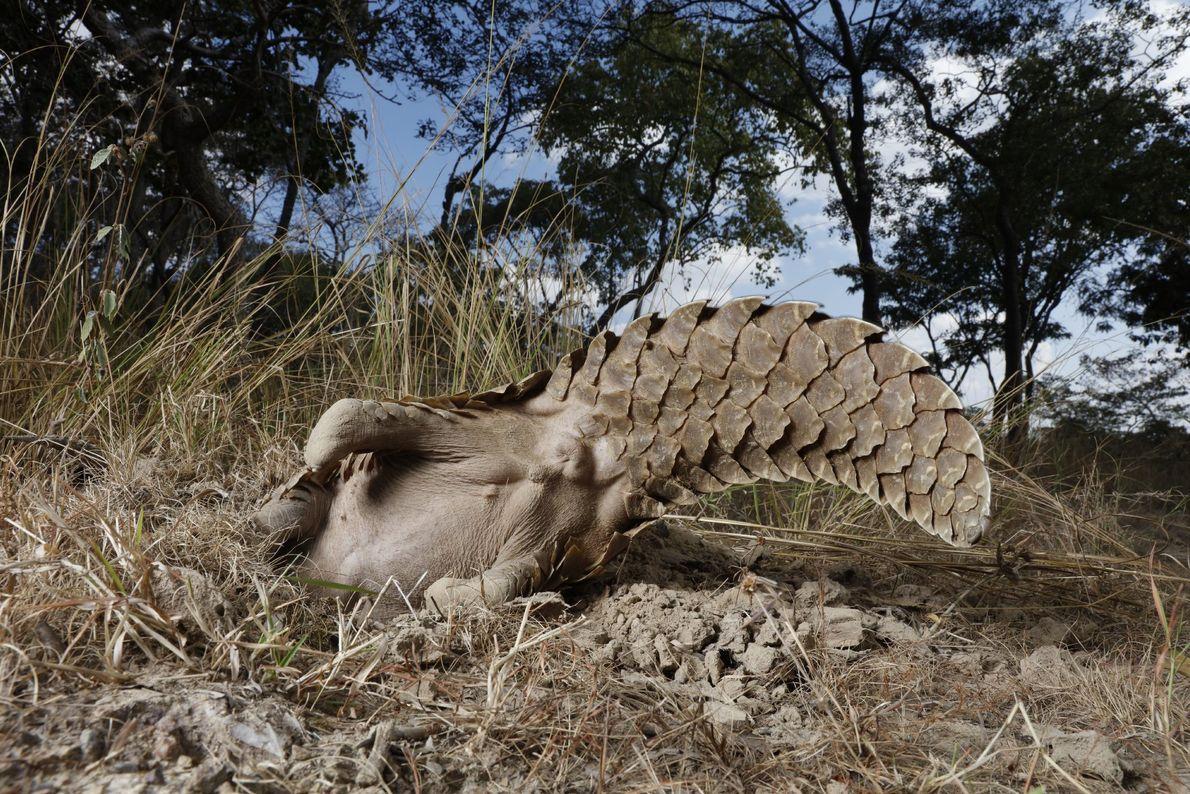 Um pangolim em uma propriedade da Reserva Tikki Hywood balança o rabo no ar enquanto mergulha ...