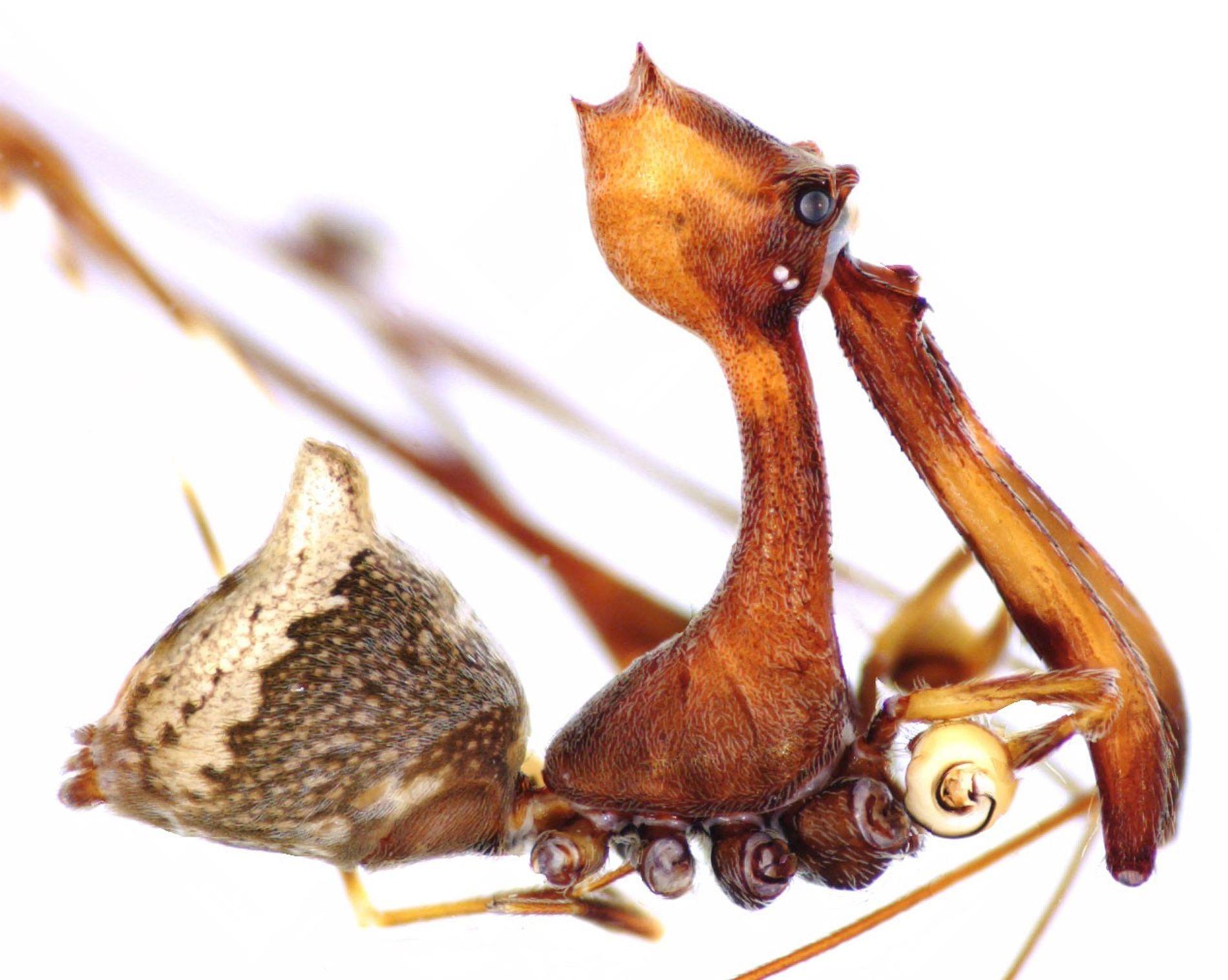 Esta nova espécie de aranha pelicano, Eriauchenius workmani, é a maior conhecida, com cerca de um ...