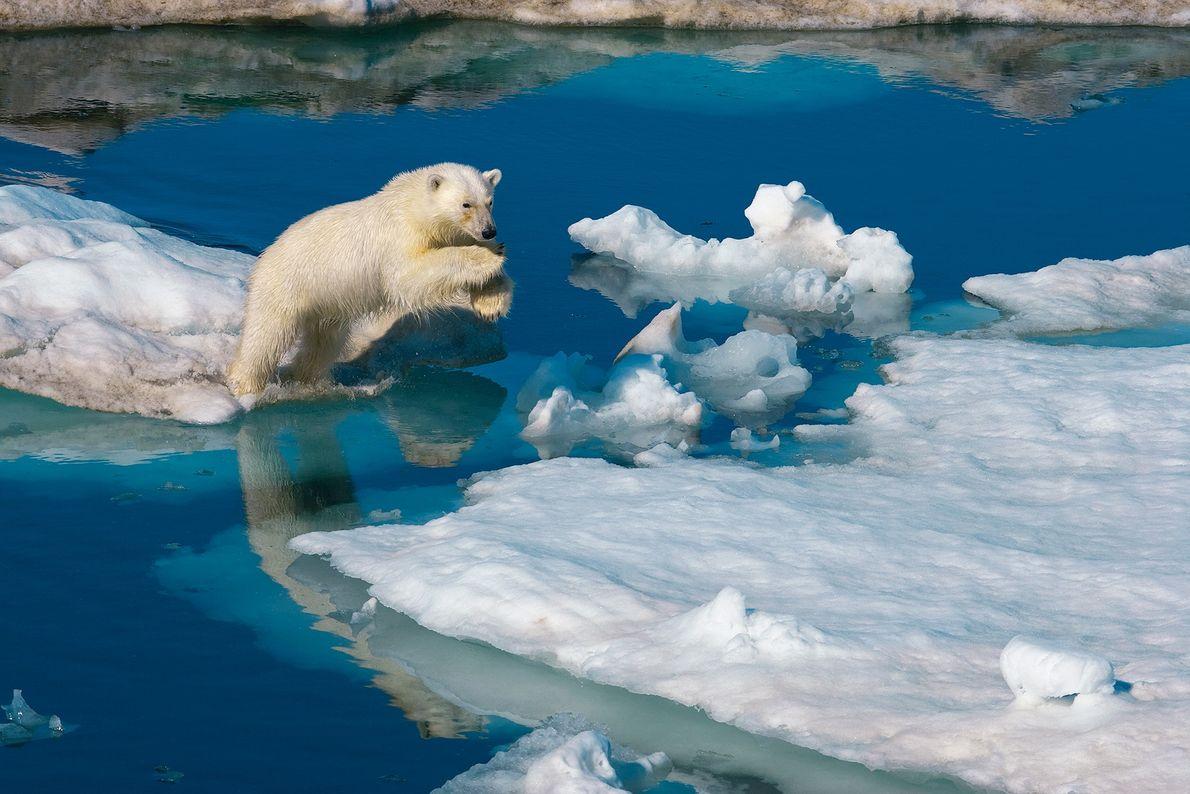 Um jovem urso-polar macho salta de um bloco de gelo para outro em Svalbard, Noruega. As ...