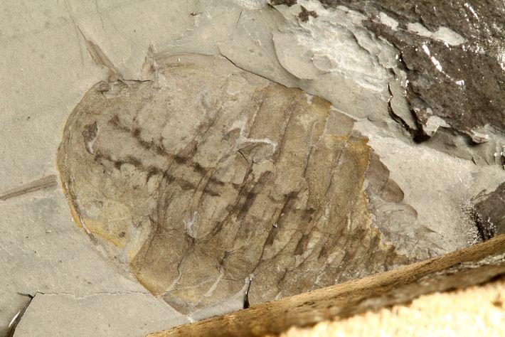 Esse artrópode recém-descoberto preservou tecidos moles internos.