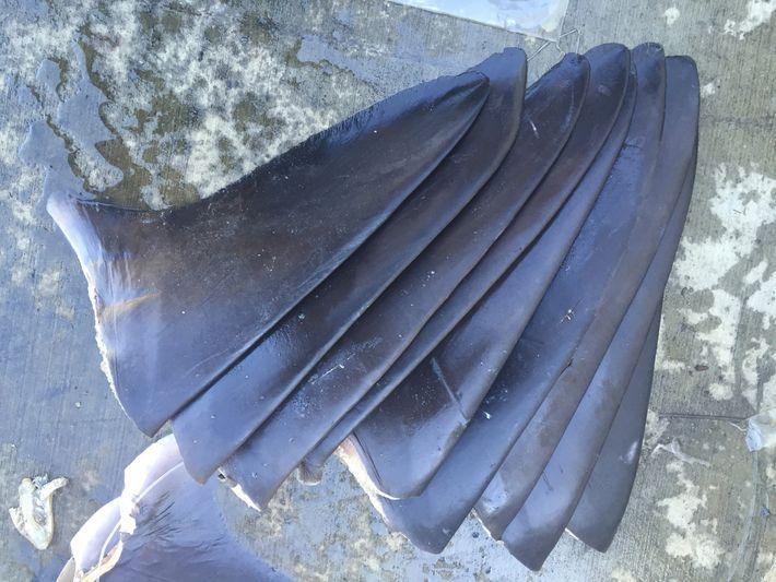 Essas barbatanas de tubarão foram apreendidas pela Divisão de Pesca e Animais Silvestres da Califórnia.