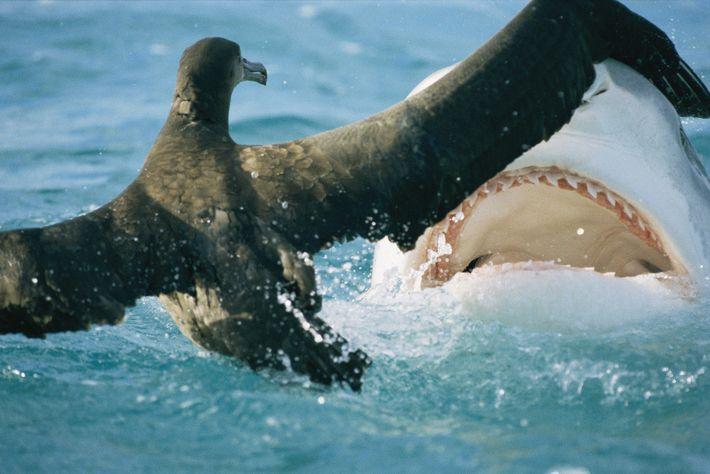 Um tubarão ataca um jovem albatroz em French Frigate Shoals, no Havaí.
