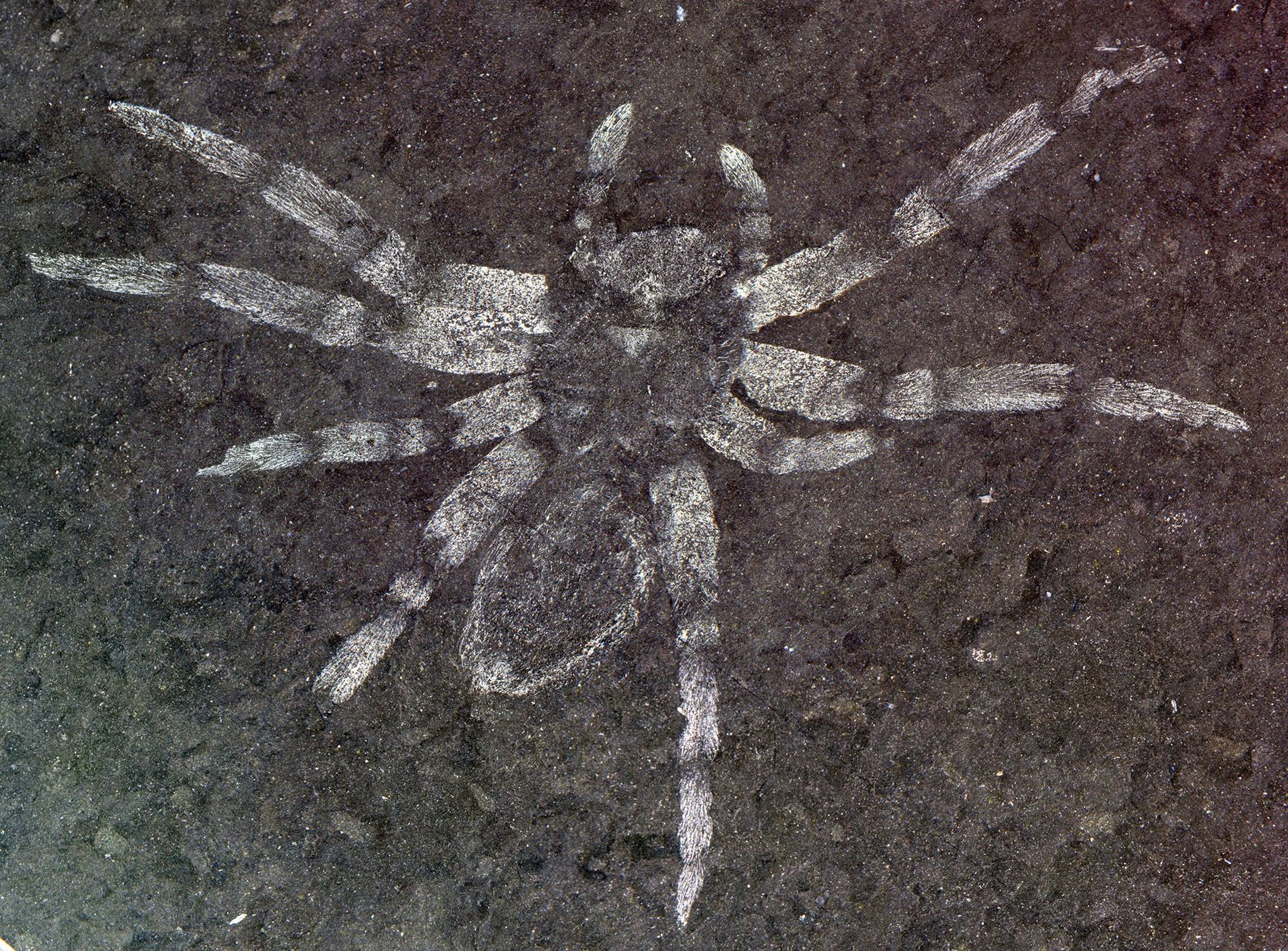 O espécime que definiu a Koreamegops samsiki, uma espécie recém-descoberta de aranhas que viveram onde hoje ...