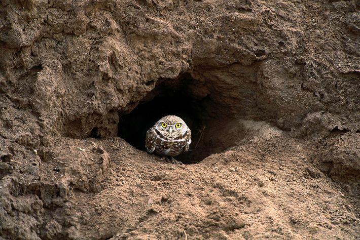 Uma coruja-buraqueira sentada na entrada do seu buraco, na Flórida.