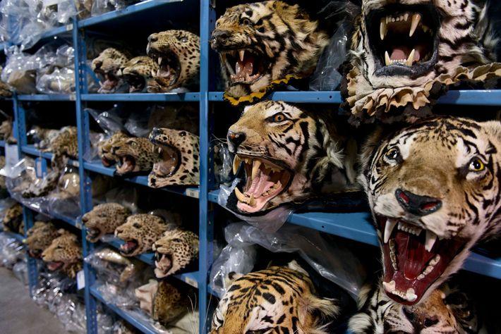 A maior parte do comércio ilegal internacional de tigres vai para a China e para o ...